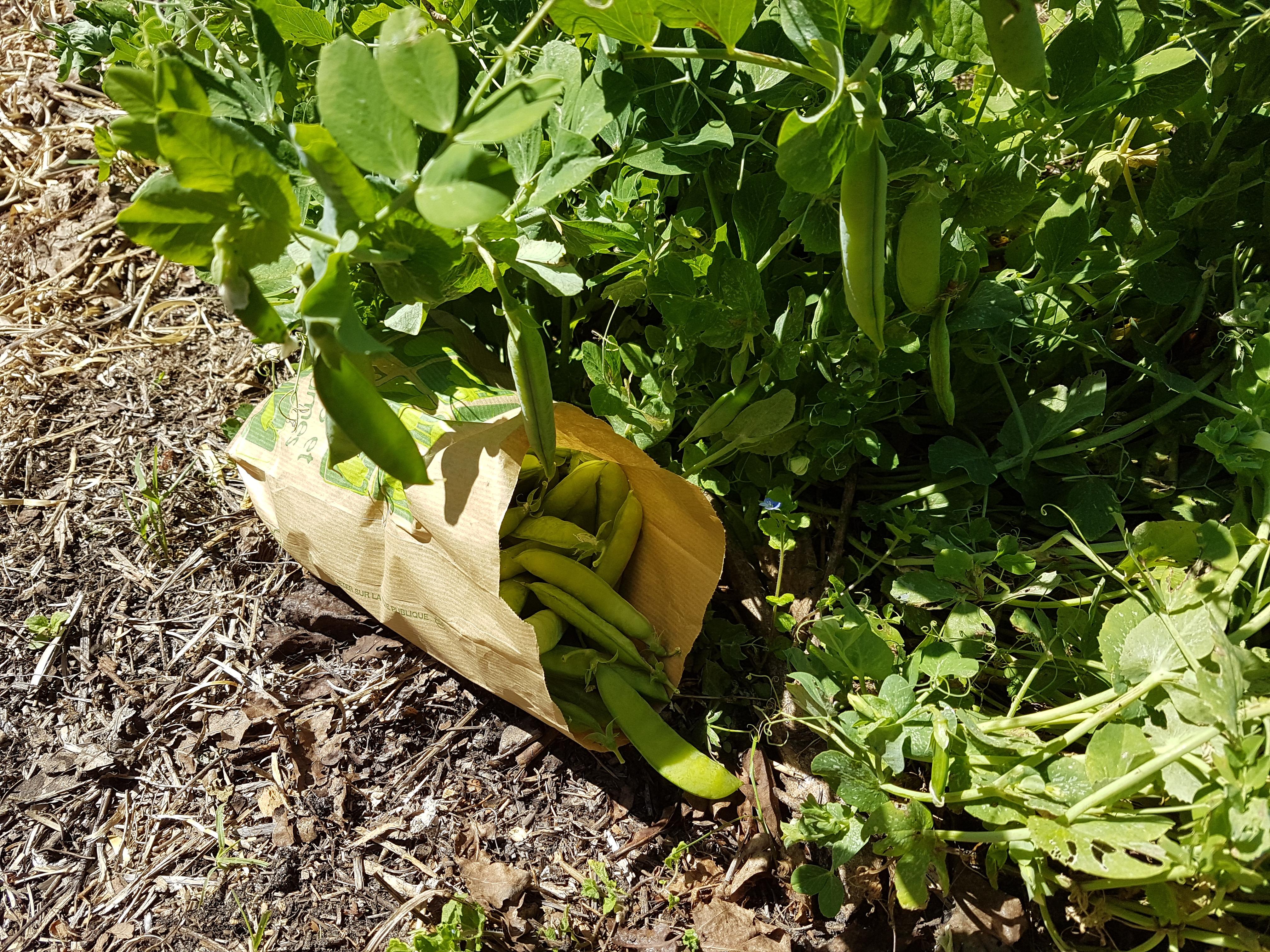 Les petits pois les jardins du plec - Comment cuire les petit pois du jardin ...